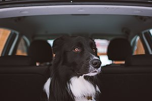 Ein Hund mit schwarz-weißen Fell sitzt in einem geöffneten Kofferraum und blickt in die Kamera.
