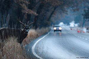 Vorne rechts im Bild steht ein Hirsch und blickt in Richtung der Kamera. Im Hintergrund nähert sich ihm ein Auto im Dämmerlicht.